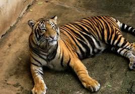 Тигровый зоопарк на Самуи